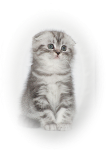 Scottish fold black silver tabby